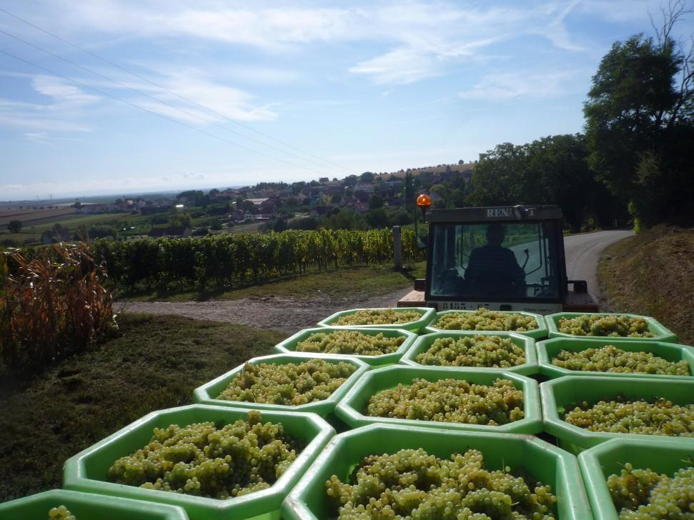 Domaine Pfister harvest