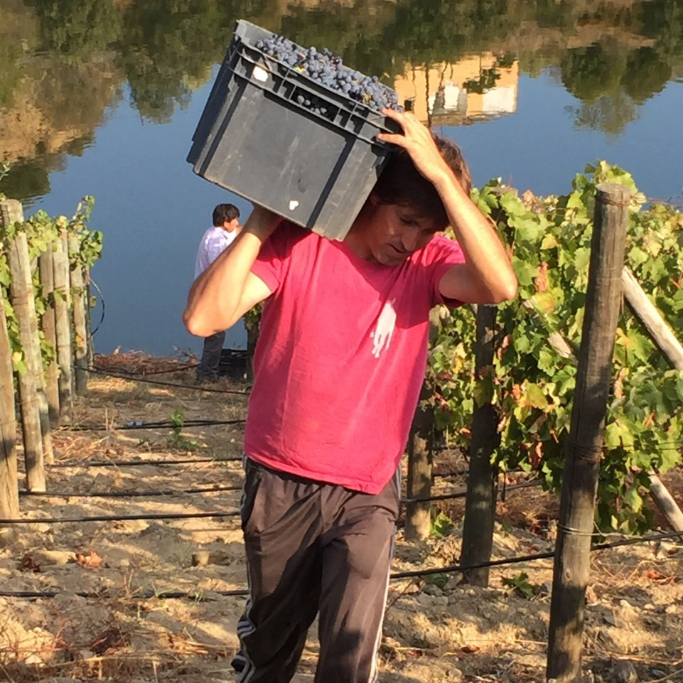 Quinta do Tedo harvest
