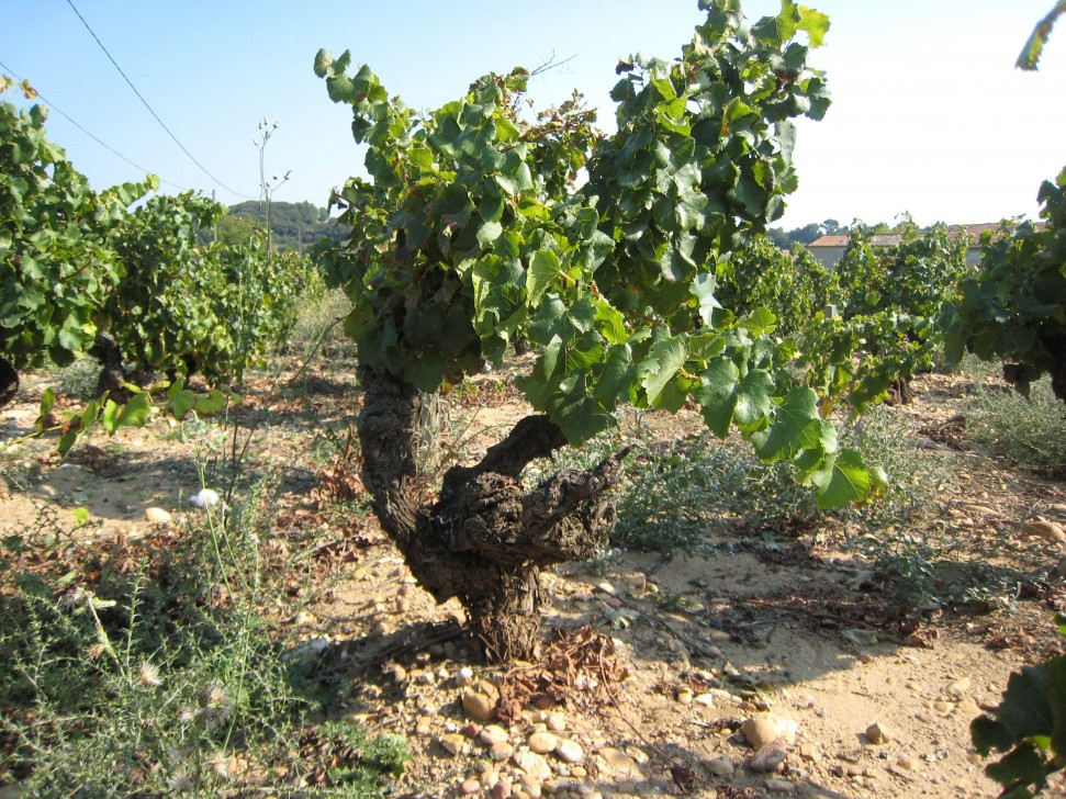 Domaine de Saje's CNDP vineyard