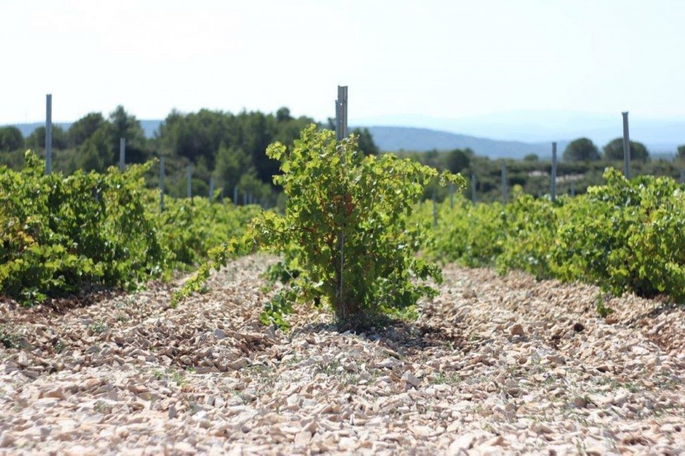 Syrah on limestone at Château Coupe Roses