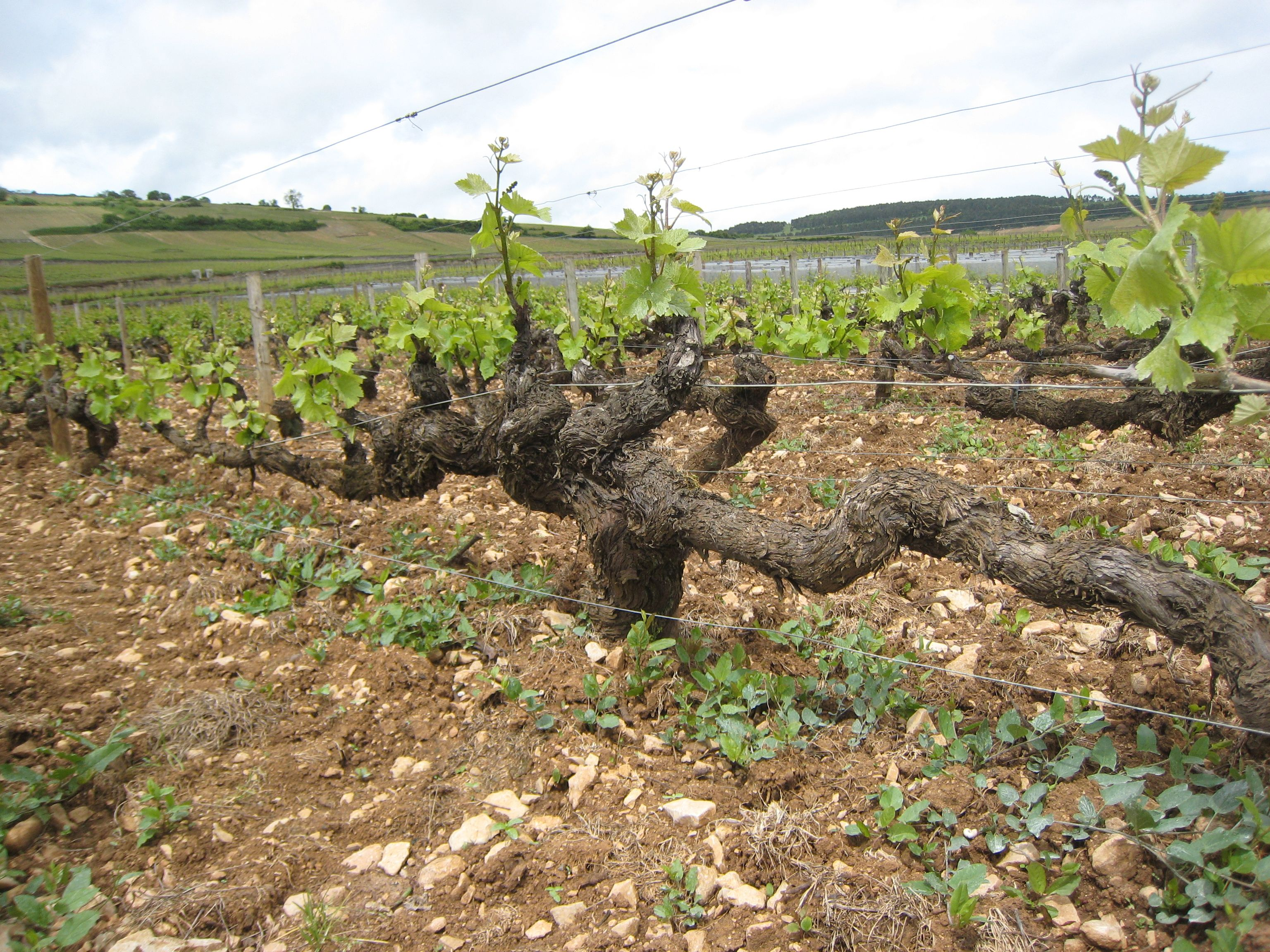 Ancient Vine in Volnay at Domaine Joseph Voillot