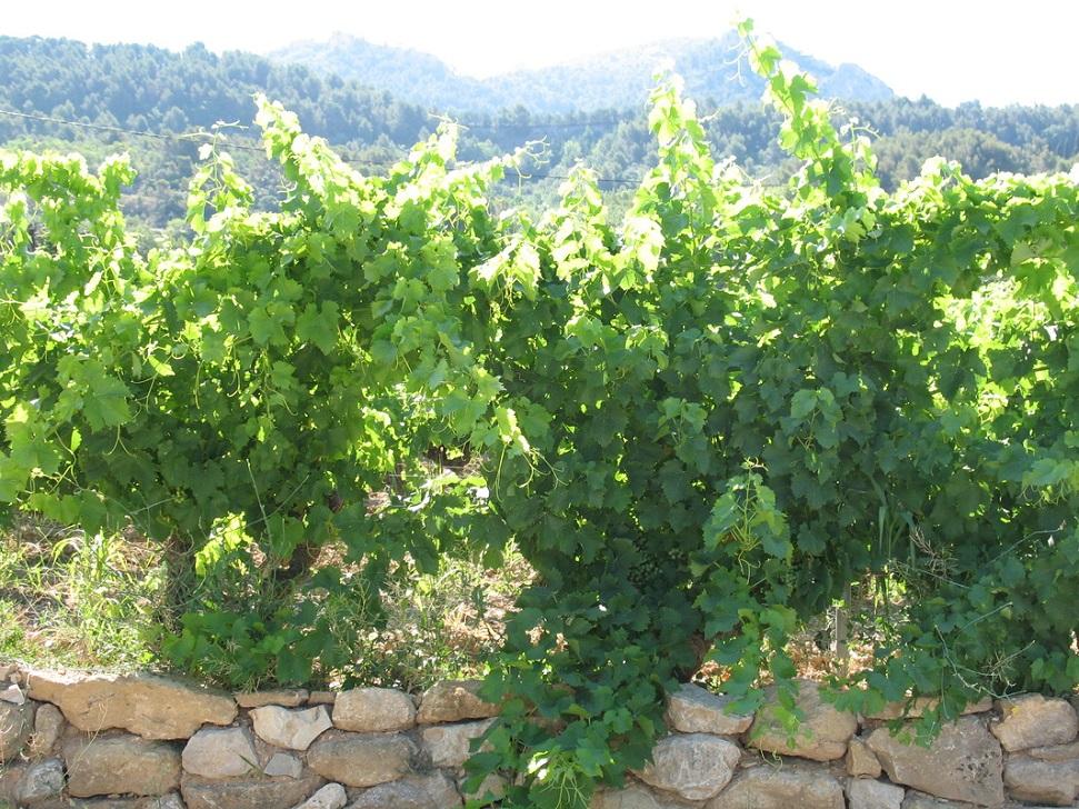 Domaine du Grand Bourjassot vines
