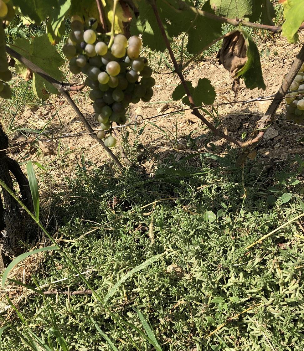 Domaine Pierre Jean Villa's sedum in vines